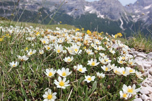 Mission: Atlantis picture. Field of Dryas octopetala flowers.